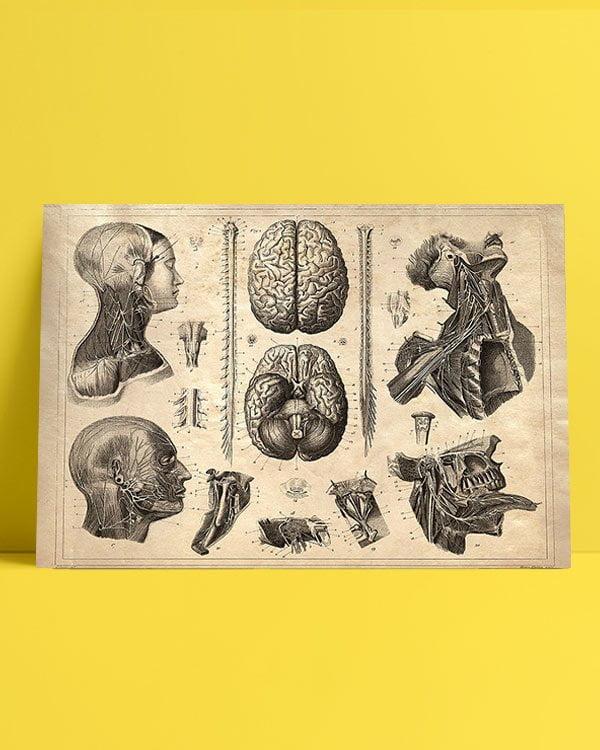 beyin-anatomi-afis