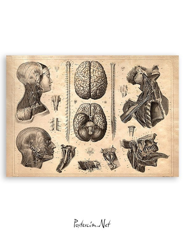 beyin-anatomi-poster
