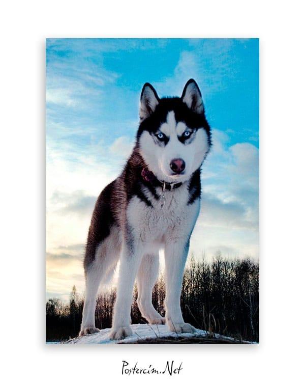 husky-kopek-poster-satin-al