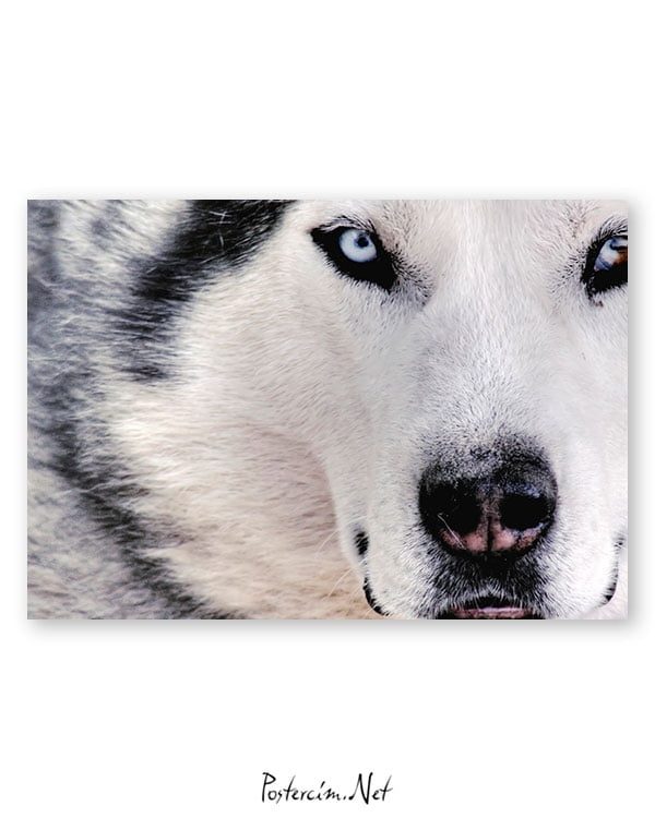 husky-posteri-satin-al
