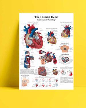 İnsan Kalbi Anatomisi ve Fizyolojisi afişi