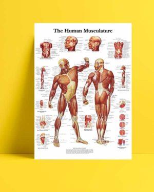 İnsan Kas Sistemi afişi
