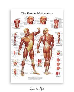 İnsan Kas Sistemi posteri