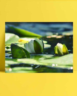 Nilüfer Çiçeği afişi