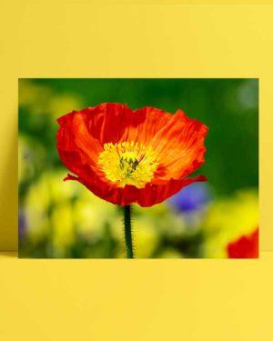 Gelincik Çiçeği afişi