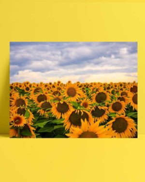 Günebakan Çiçekleri afişi