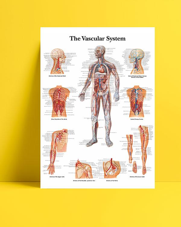 Dolaşım Sistemi posteri