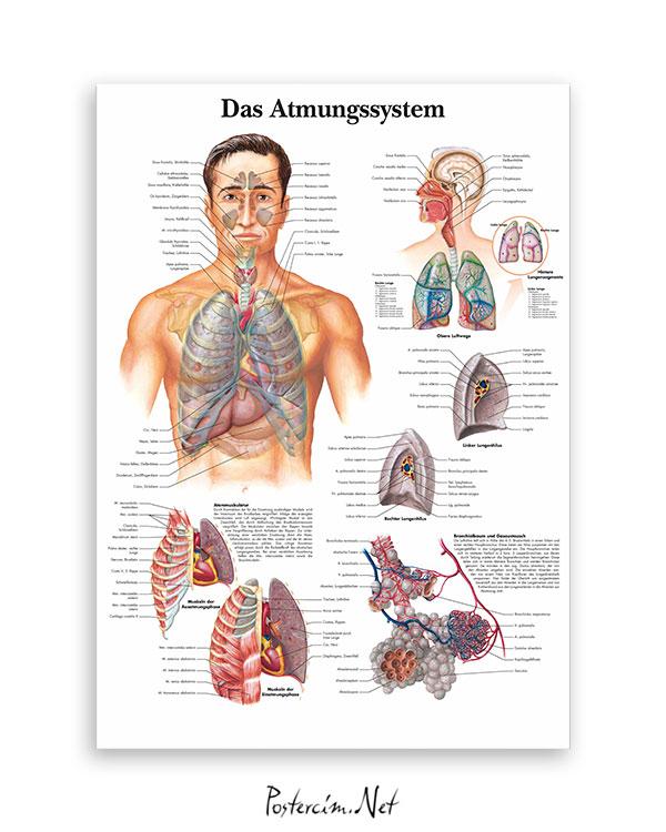 Solunum Sistemi afişi