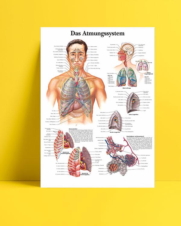 Solunum Sistemi posteri