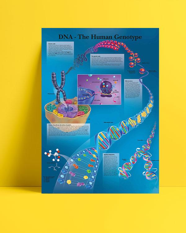İnsan DNA'sı posteri