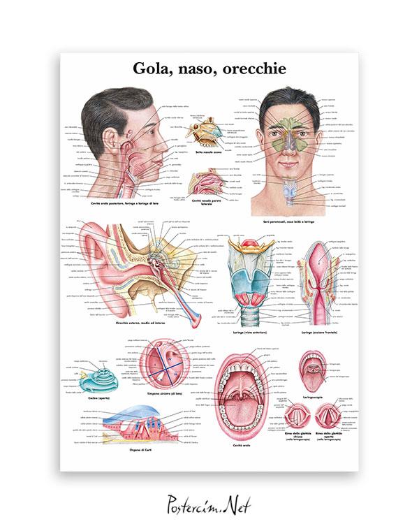 Kulak-Burun-Boğaz Anatomisi afişi