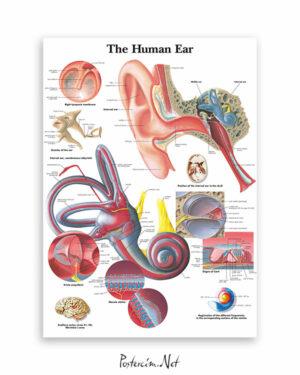 Human Ear afisi