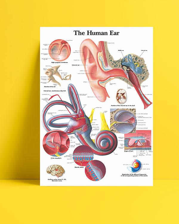 Human Ear posteri