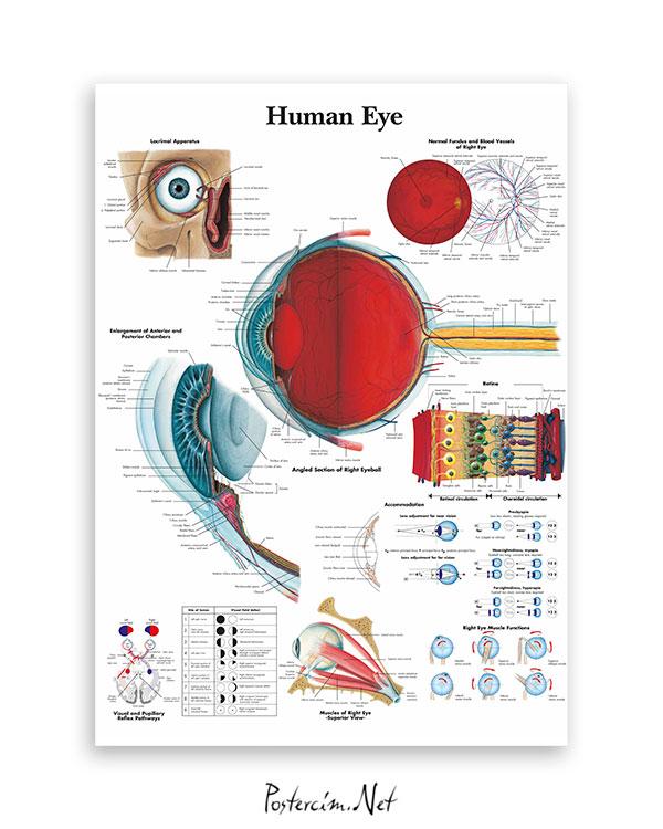 İnsan gözü anatomisi afişi