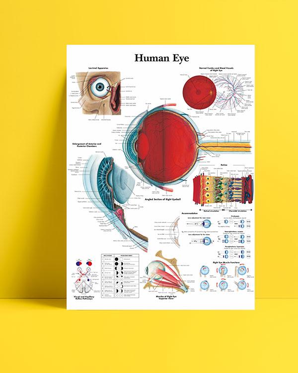 İnsan gözü anatomisi posteri