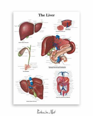 Karaciğer anatomisi afişi