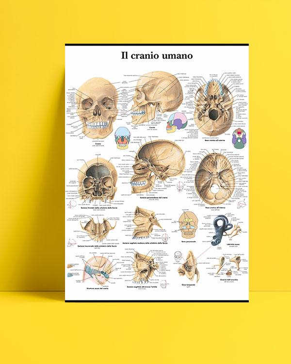 İnsan Kafatası posteri