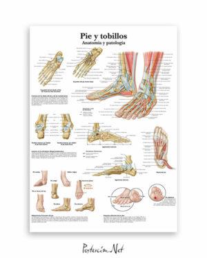 Ayak-ve-bilek-anatomisi-afisi