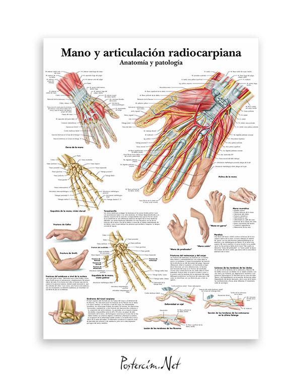 El-ve-radiocarpal-eklem-anatomisi-afisi