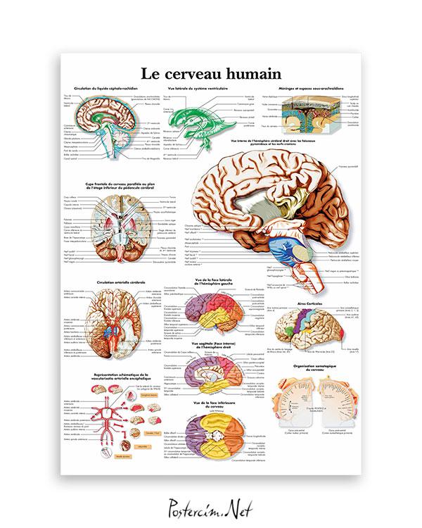 İnsan-beyni-anatomisi-afisi