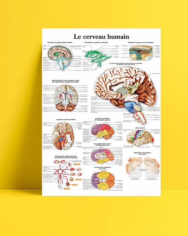 İnsan-beyni-anatomisi-posteri